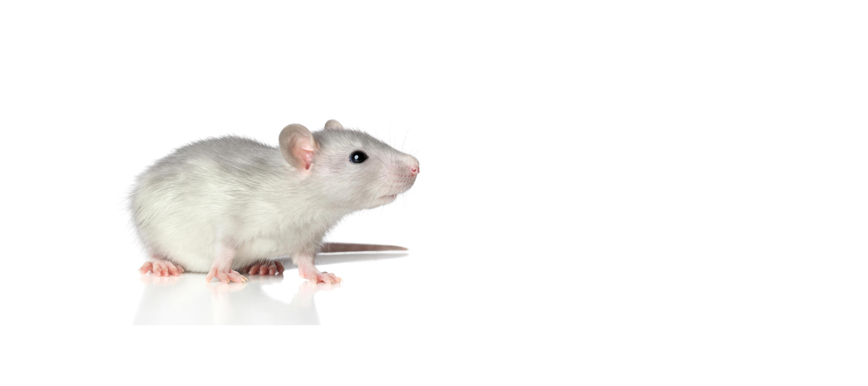 Dr Hadwen Trust: Mouse